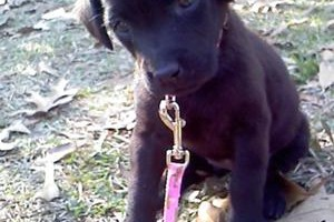 acie-claire-my-baby-chocolate-lab-21446773