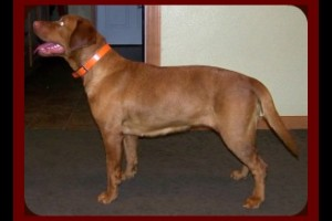 akc-started-fox-red-labradors-for-sale-21520737