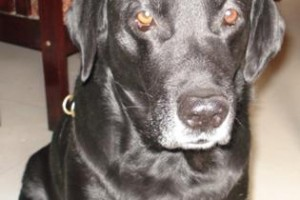 our-labrador-dog-our-heart-passed-away-21297216
